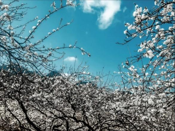 Đẹp tinh khôi những vườn hoa mận