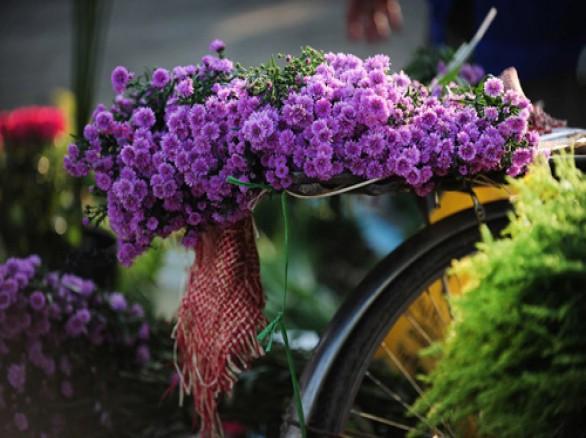 Nét đẹp Hà Nội qua mùa hoa thạch thảo