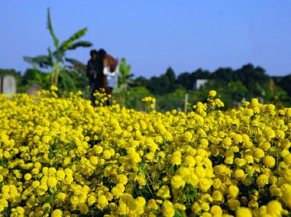 Cánh đồng hoa cúc ở  Hưng Yên