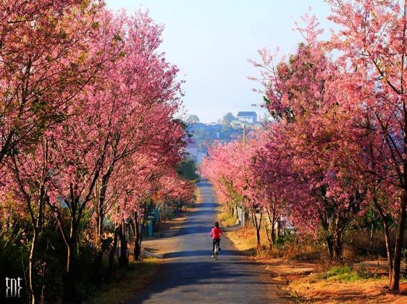Tháng 1- mùa mai anh đào ở Đà Lạt