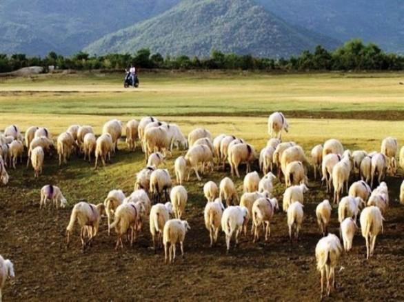 Đồng cừu Suối Nghệ - Bà Rịa Vũng Tàu