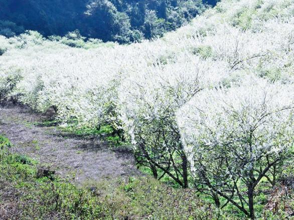 Tháng 3 - Mộc Châu: Mùa hoa ban trắng trời